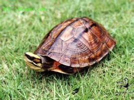 Tiga baris ditutup turtle shell